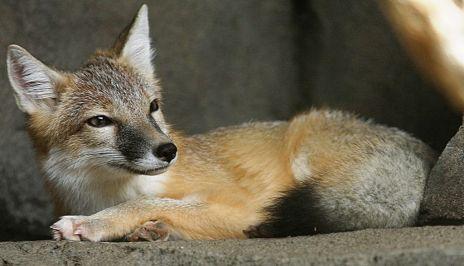 1024px-swift_fox